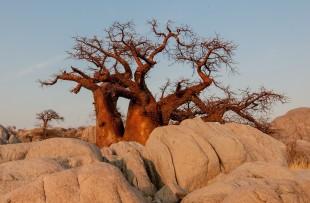 Botswana-Baobab-Pixabay
