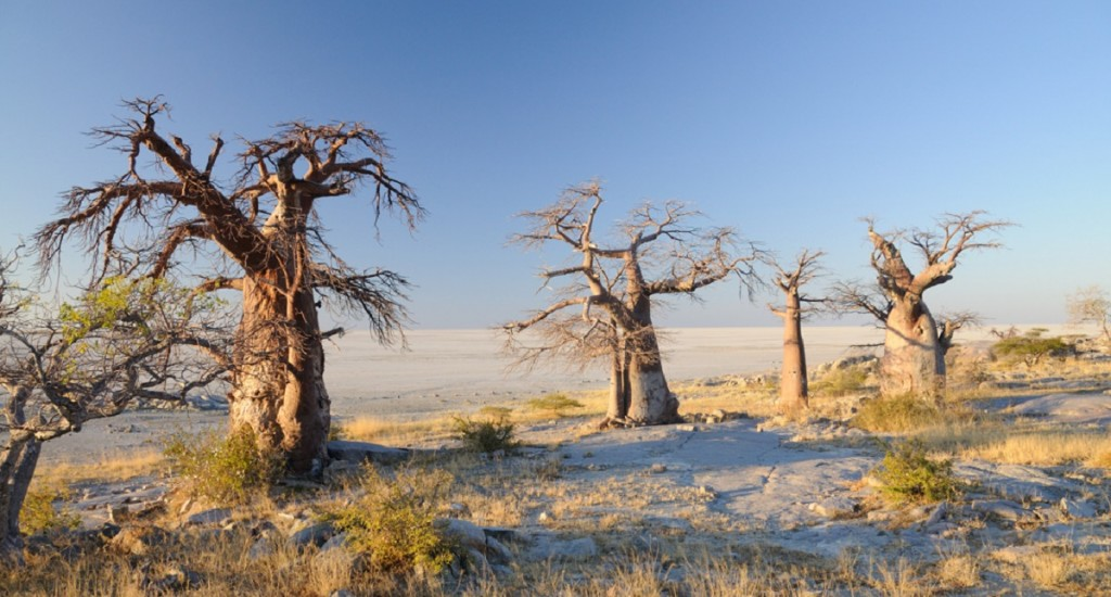 Baobabs-Botswana-Wiki