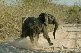Elephant-Walking-Botswana