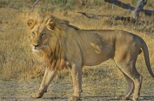 Lion-Botswana-Pixabay