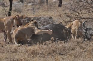 Lion-Buffalo-Botswana-wiki
