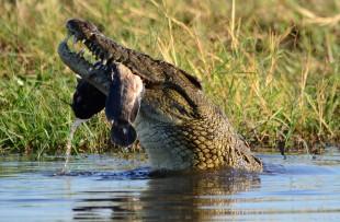 croc-chobe-pixabay