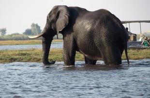elephant-chobe-pixabay