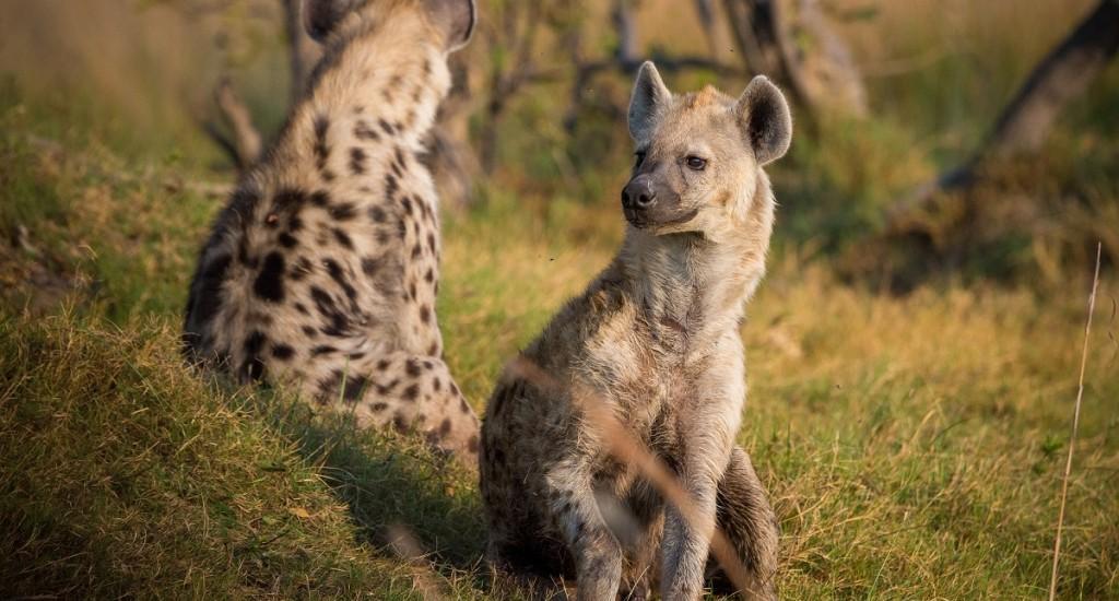 hyena-botswana-pixabay
