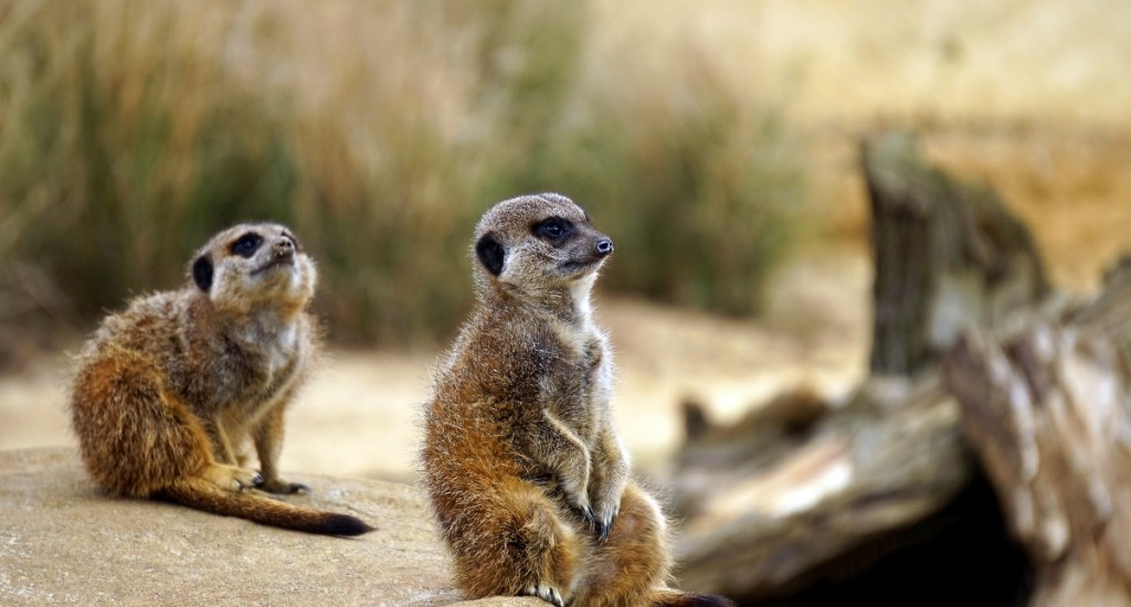 meerkats-pexels